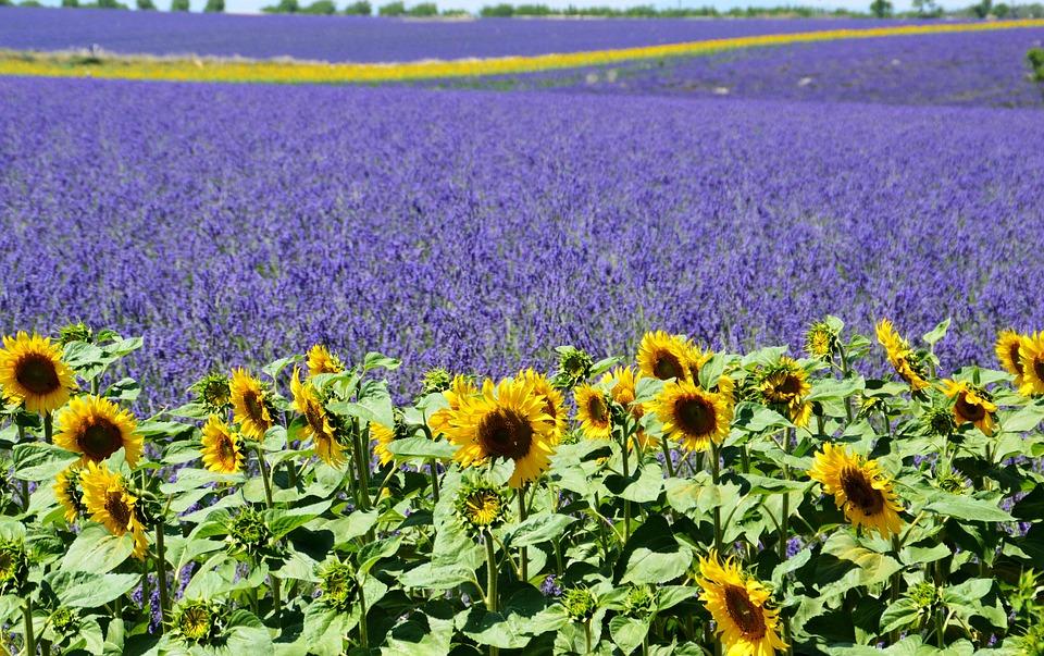 lavender-field-1899575_960_720